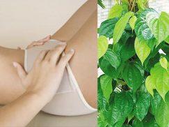 Cách chữa viêm lộ tuyến bằng lá trầu không?
